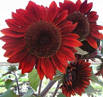 Sunflower_moulin_rouge_new