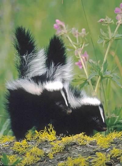 Skunk5